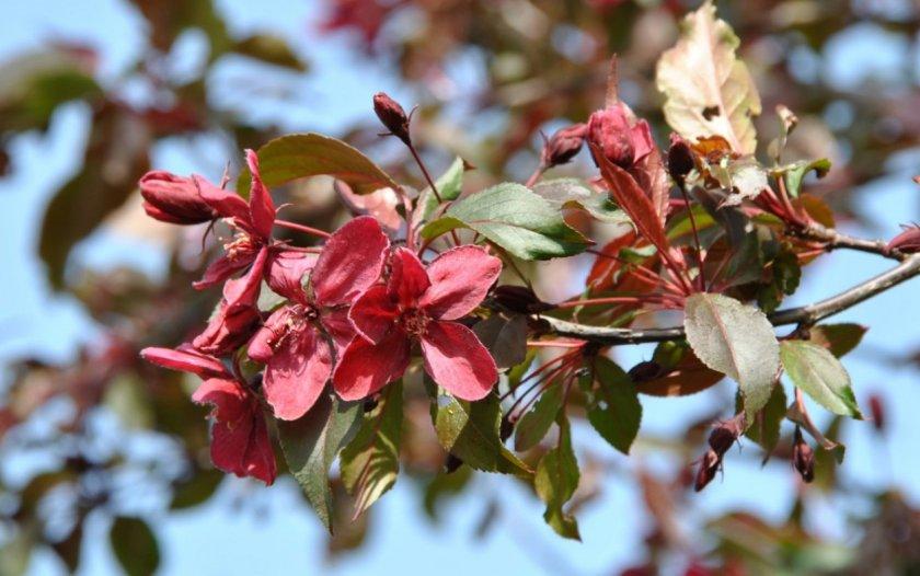 Цветение яблони Роялти