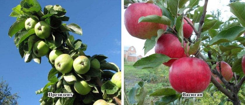 Сорта-опылители для яблони