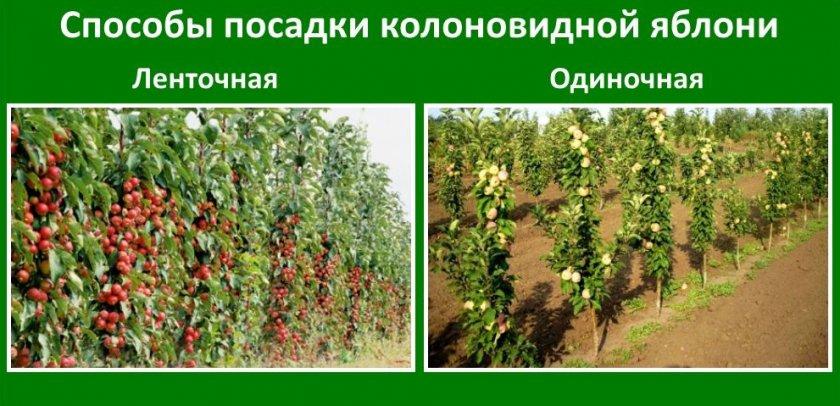 Способы посадки колоновидной яблони