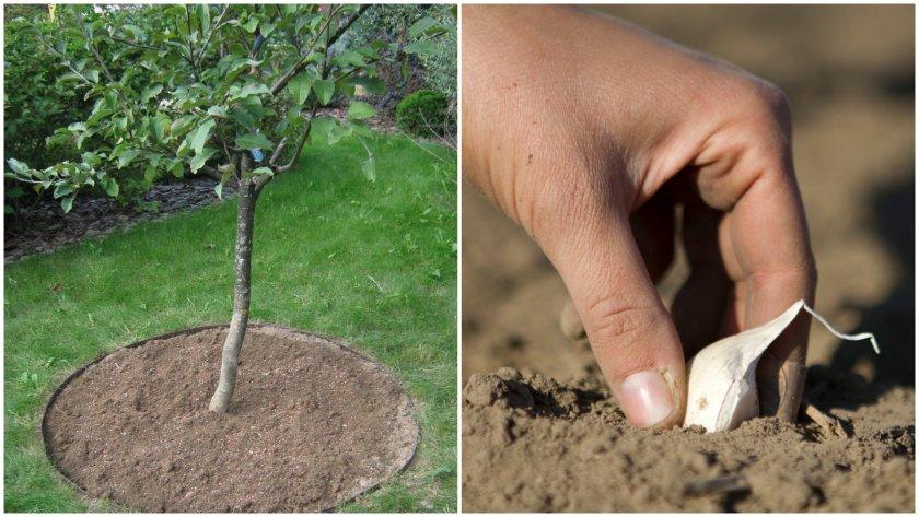 Посадка чеснока под яблоню