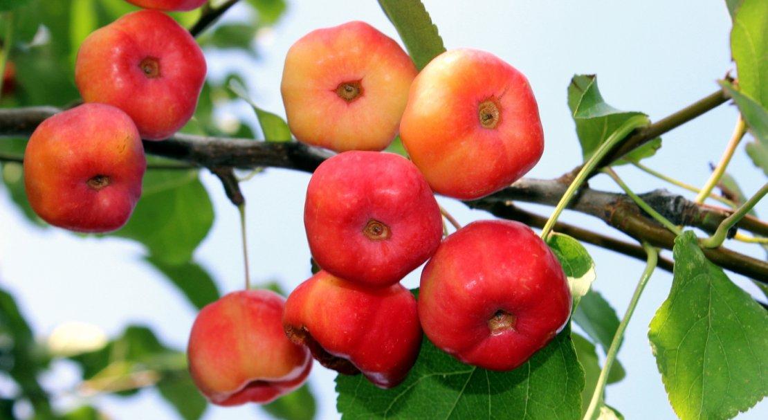 картинки ранетки яблоки опытом