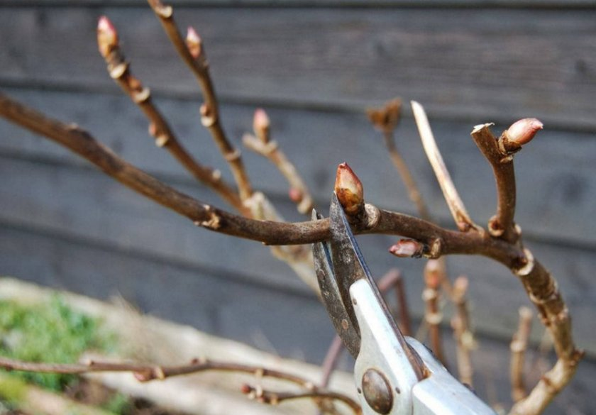 Обрезка древовидных растений