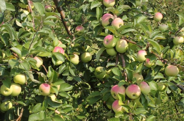 Яблоня сорта Президент колоновидная: подробная характеристика и описание, технология выращивания сорта на участке, фото