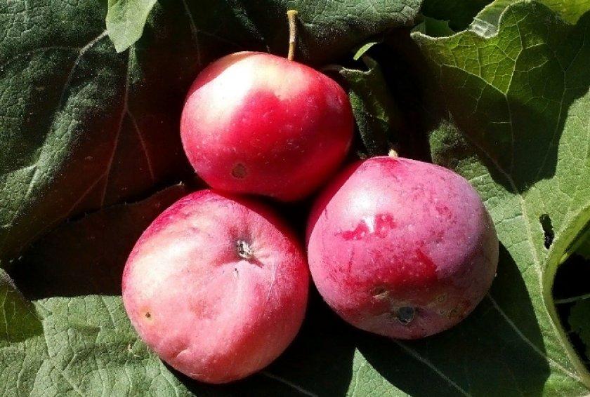 Яблоки сорта Заветное