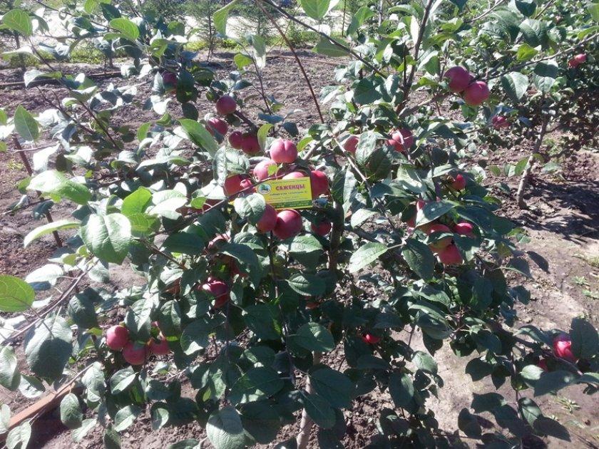 Саженцы яблони Заветное