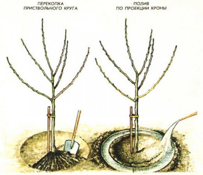 Схема полива и подкормки яблони