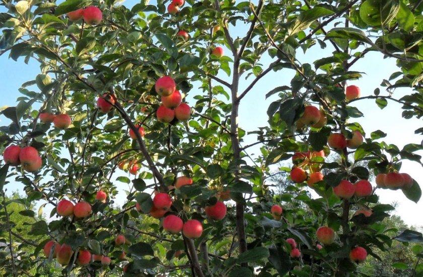 Яблоня Горноалтайское