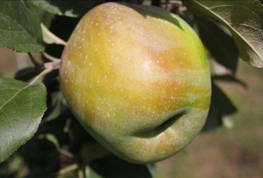 Яблоня сорта Народное