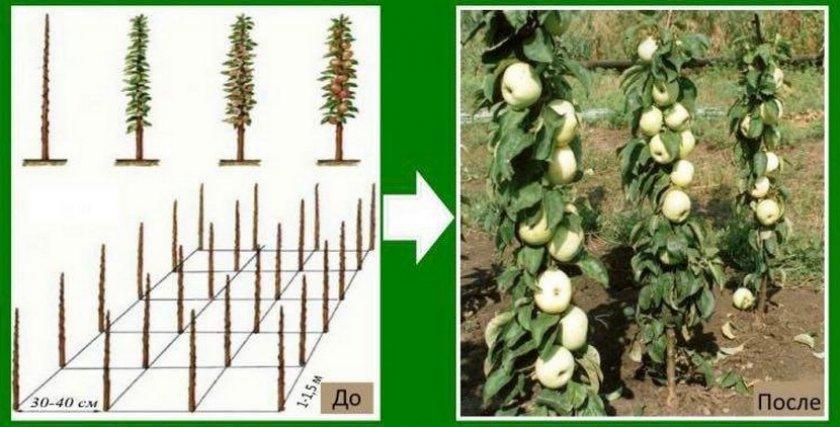 Схема посадки колоновидных яблонь