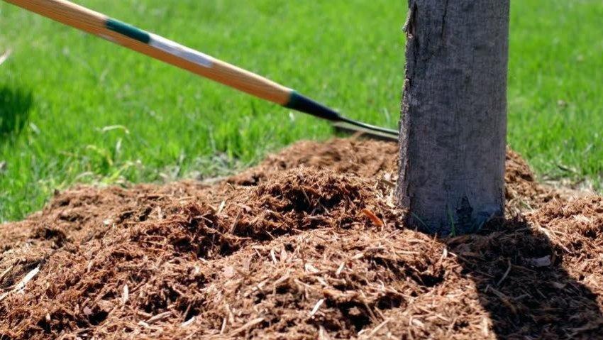 Мульчирование дерева