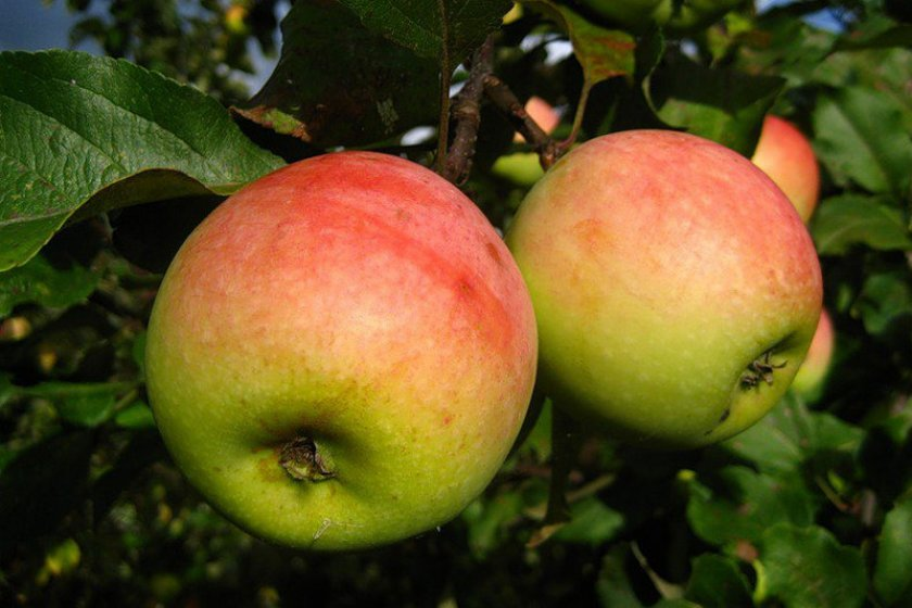 Яблоки Кутузовец