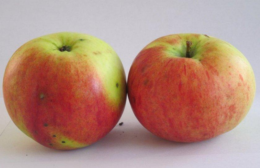Яблоня сорта Витязь