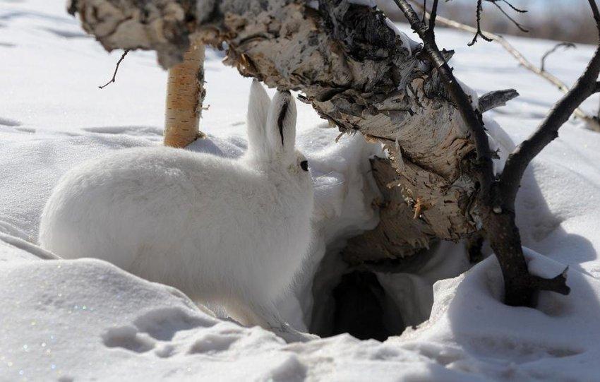 Заяц зимой в саду