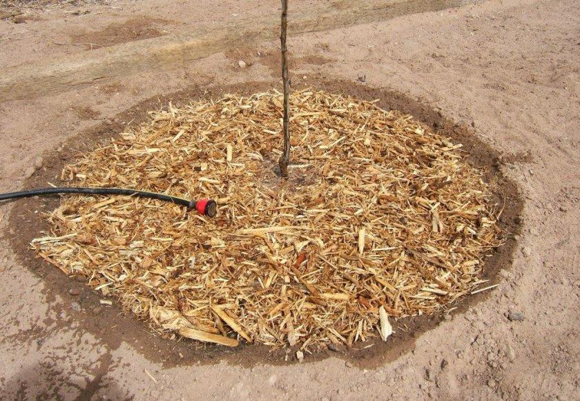 Мульчирование приствольного круга яблони