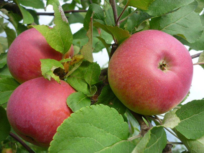 Яблоки сорта Марат Бусурин