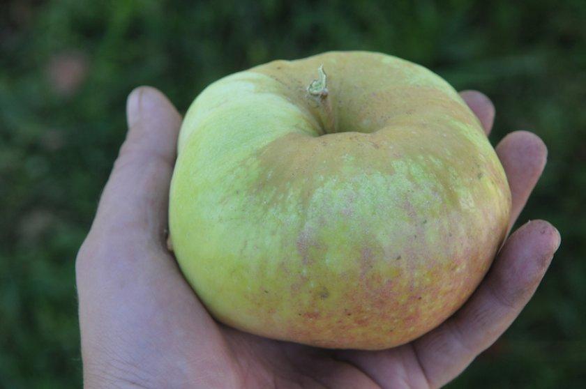 Яблоко сорта Богатырь