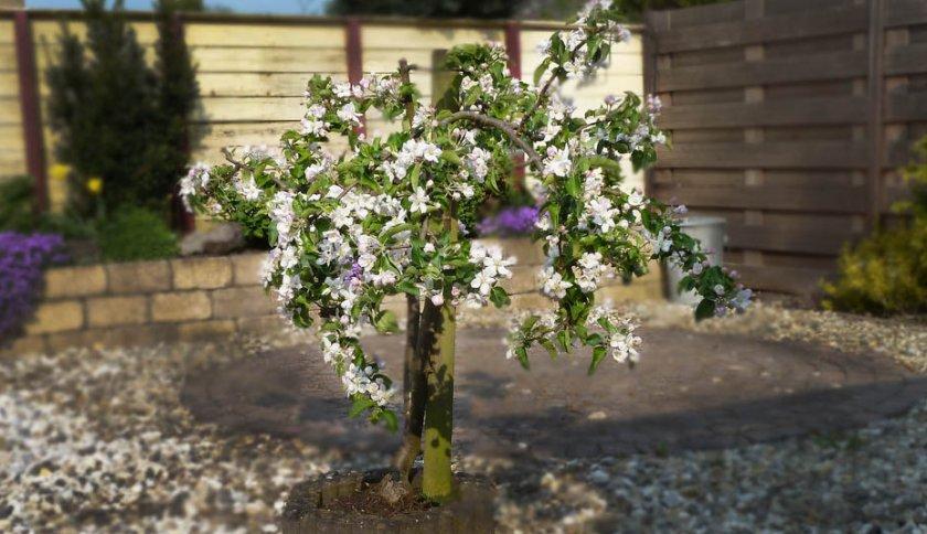 Карликовое дерево яблони