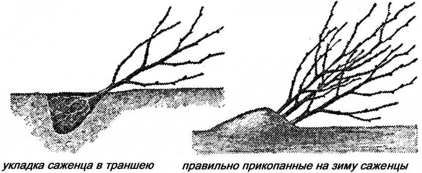 Прикопанные саженцы