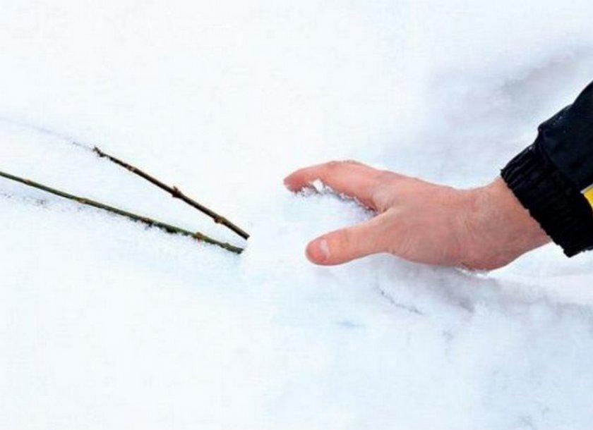 Снегование саженцев яблони