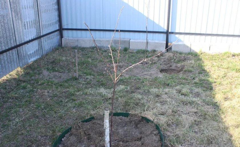 Место для выращивания саженца яблони
