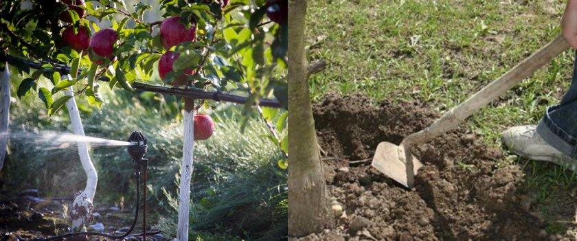 Полив и рыхление почвы яблони