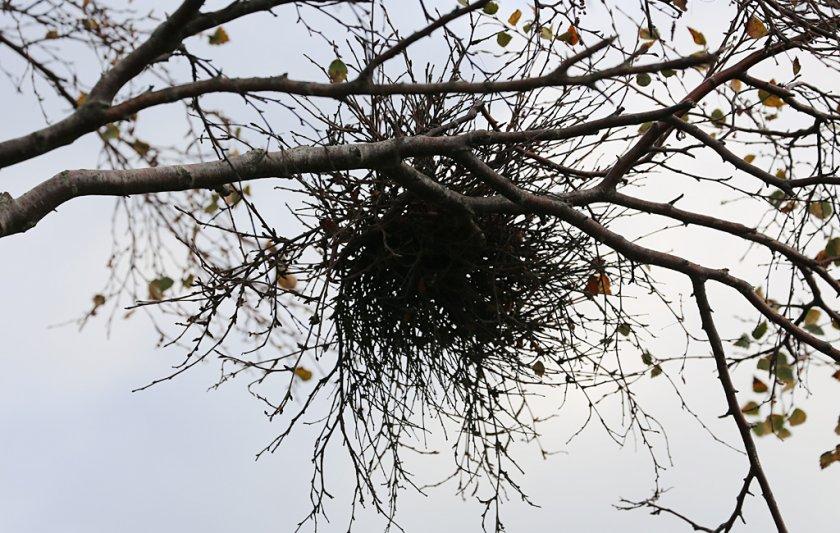 Ведьмина метла на груше