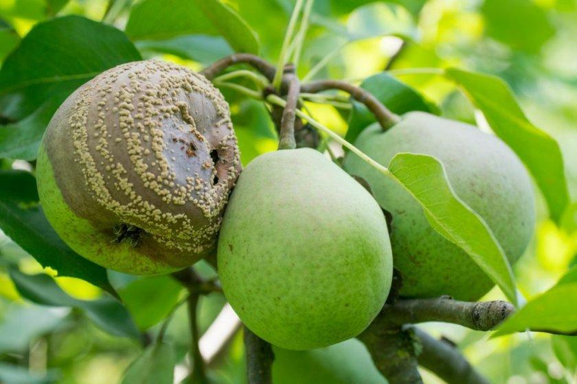 Плодовая гниль на грушах