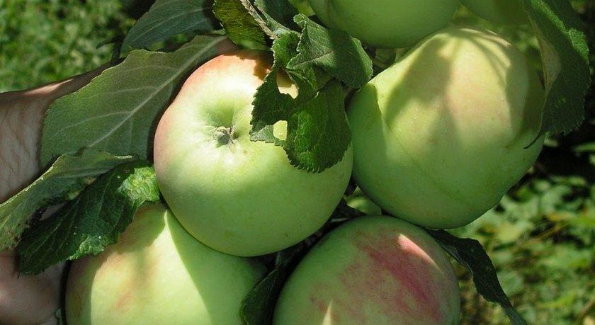 Яблоня Десертное Исаева