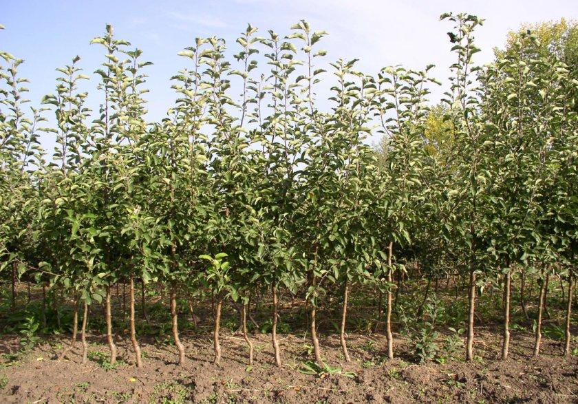 Место для выращивания яблонь