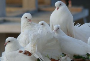 Цветные голуби: породы с разными оттенками окраса