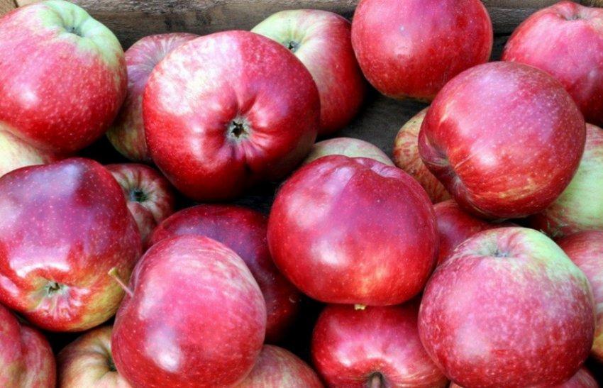 Яблоня сорта Легенда