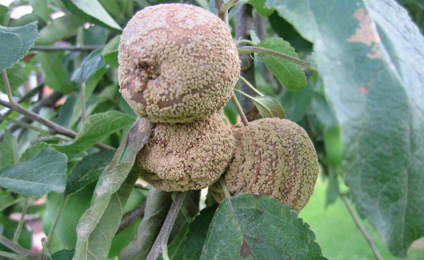 Плодовая гниль яблони