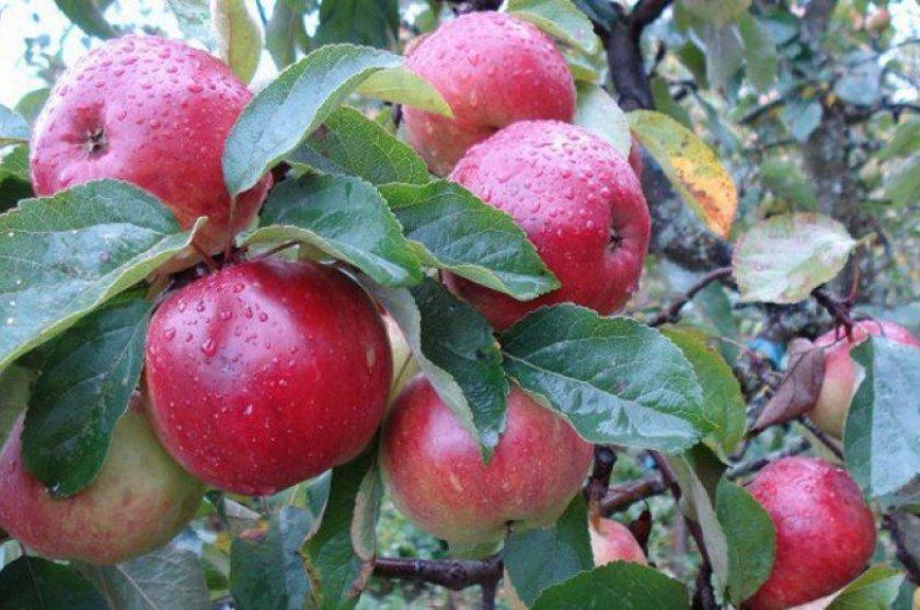 Яблоня сорта Антей