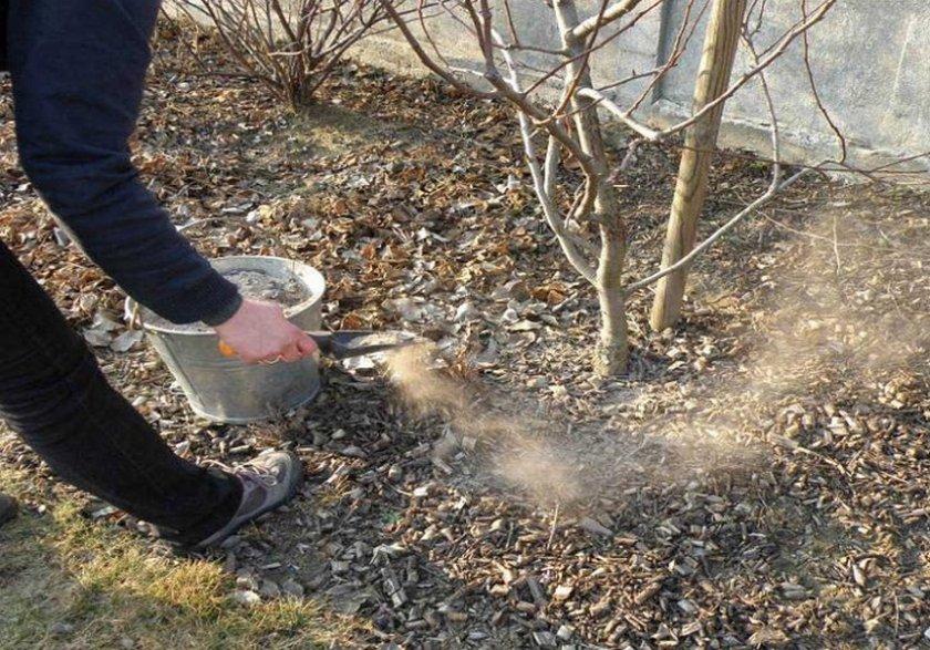 Подкормка яблони древесной золой