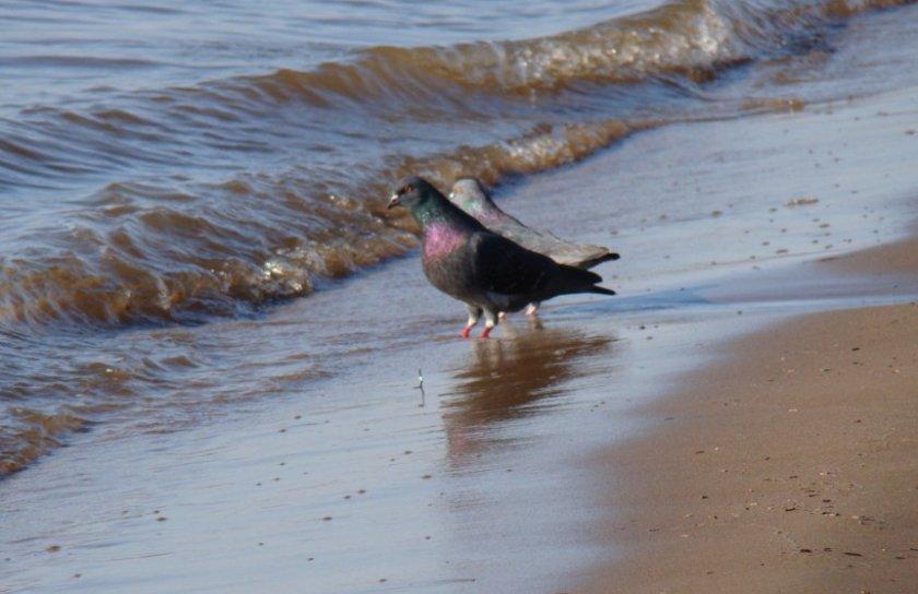 Голуби возле побережья