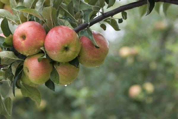 Сорт яблони Услада описание характеристики болезни и вредители