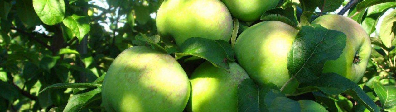самых популярных яблоня мартовское фото описание вами страшно