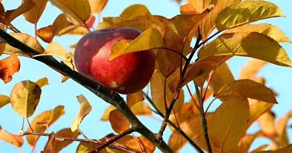 Обработка яблонь весной — когда и чем
