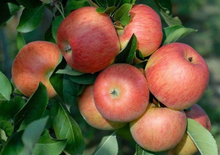 Преимущества яблони сорта Топаз