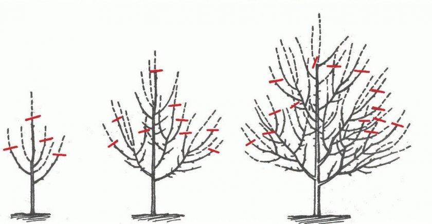 Формировка кроны яблони