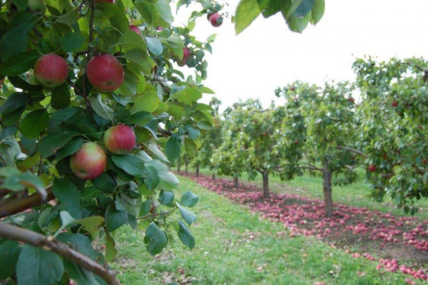 Среднерослые яблони