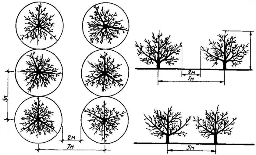 Схема расстояния между деревьями