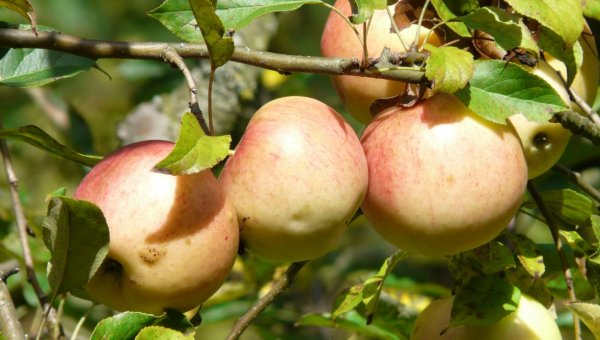 Характеристики позднелетней яблони сорта Юбиляр