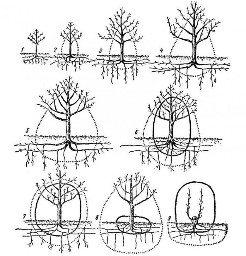 Корневая система яблони