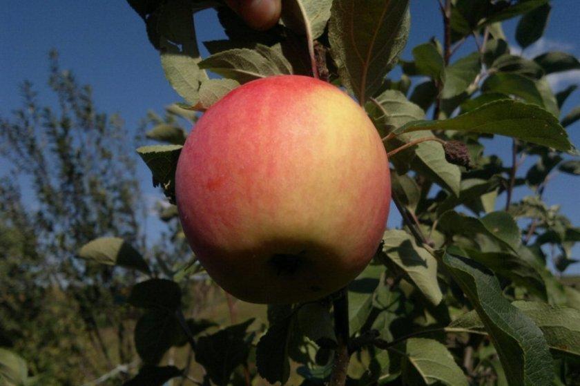 Минское яблоко