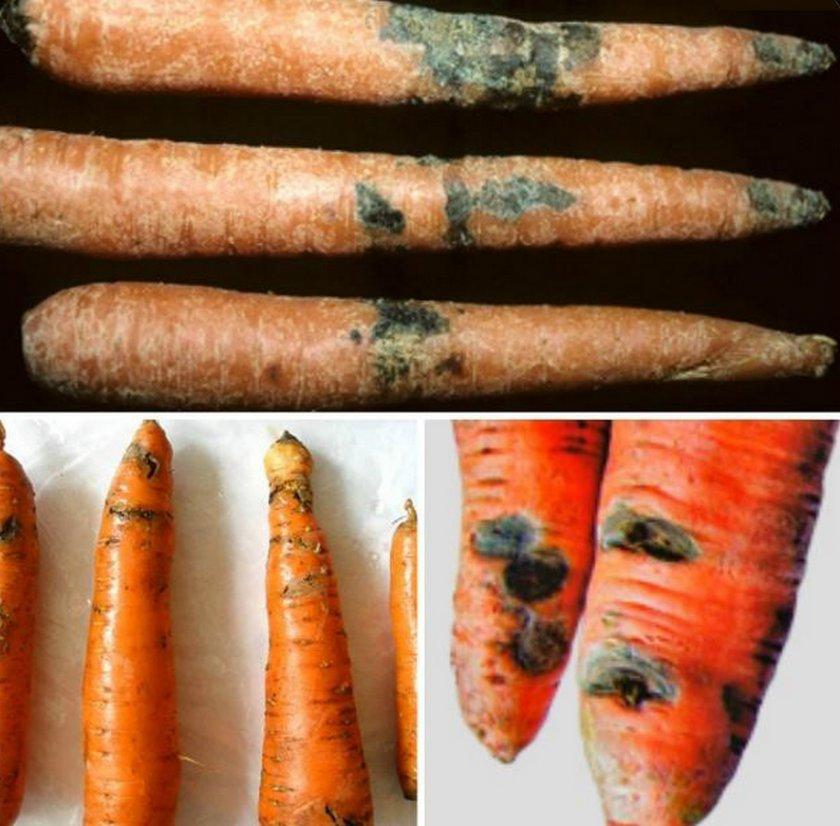 Фомоз (сухая гниль) моркови