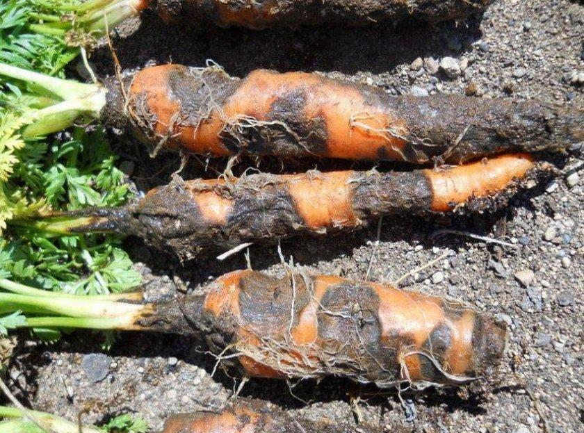 Ризоктониоз (войлочная гниль) на плодах моркови