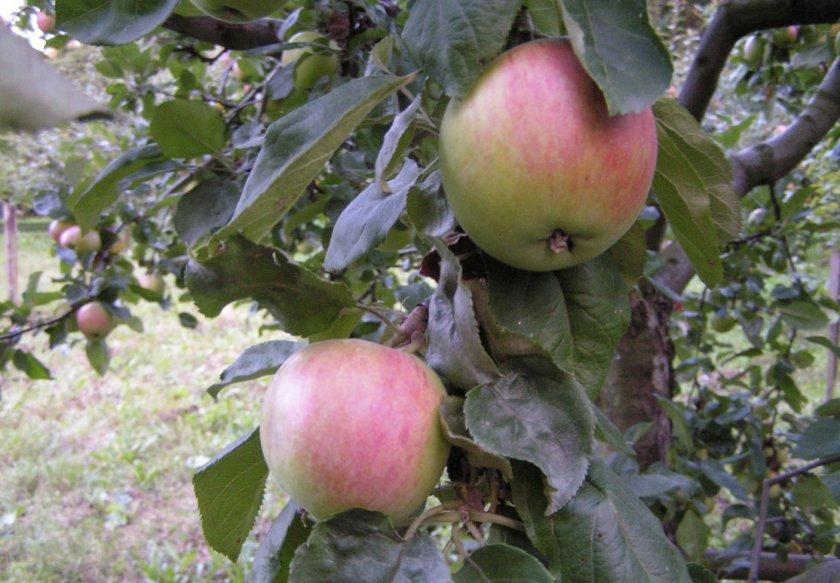Зимостойкость яблони Солнышко