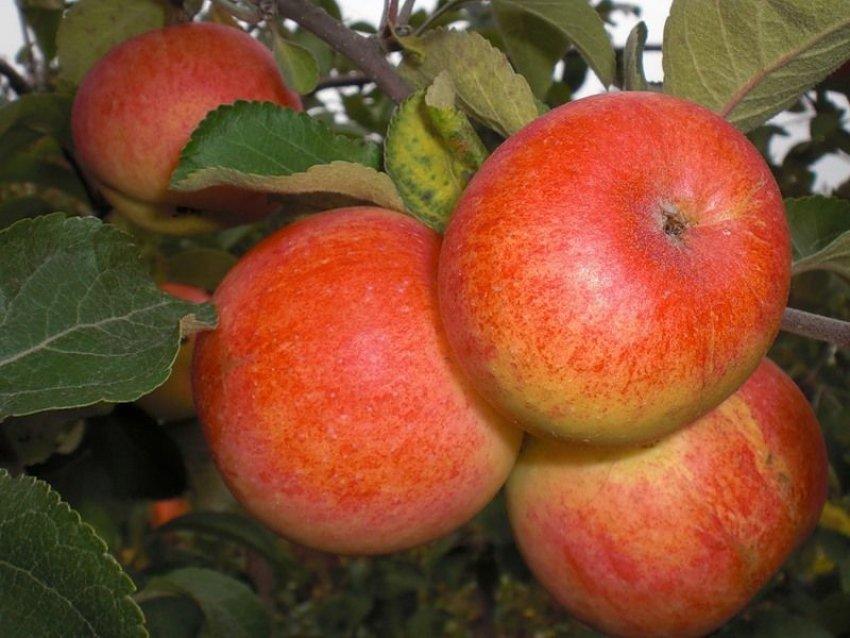 Условия для выращивания яблони Солнышко