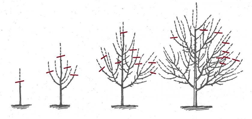 Ежегодное формирование яблони